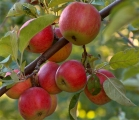 habitat-fruit