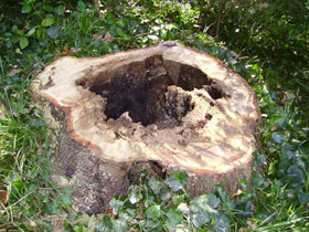 cutted tree